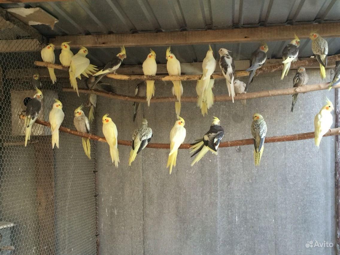 Попугаи молодые, джунгарские хомяки, амадины в Джанкое - фотография № 2