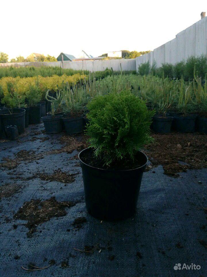 Хвойные деревья купить на Зозу.ру - фотография № 5