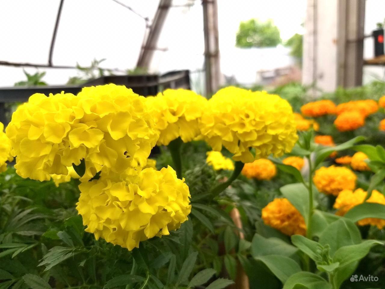 Рассада цветов вегетативная в горшках 0.8 л купить на Зозу.ру - фотография № 3