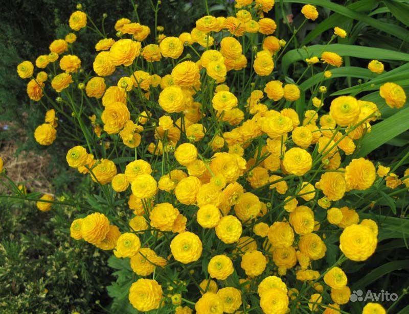 Многолетние цветы купить на Зозу.ру - фотография № 4
