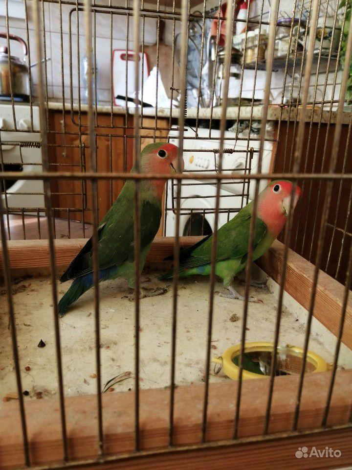 Попугаи неразлучники купить на Зозу.ру - фотография № 7
