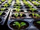 Рассада овощных культур и цветов