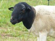 Бараны, овцы,ярки, ягнята дорпер+романовская