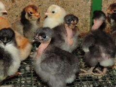 Суточные цыплята
