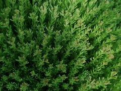 Ковёр из растения
