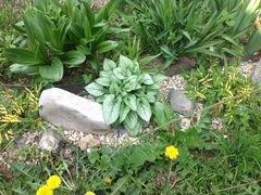 Цветы Бруннера серебристая и Лобазник