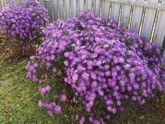 Сентябринки, Сентябрина) цветы рассада саженцы
