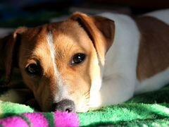 Джек Рассел терьер для Вязки, возможна за щенка
