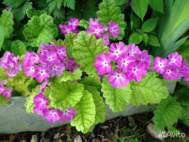 Цветы садовые многолетники купить