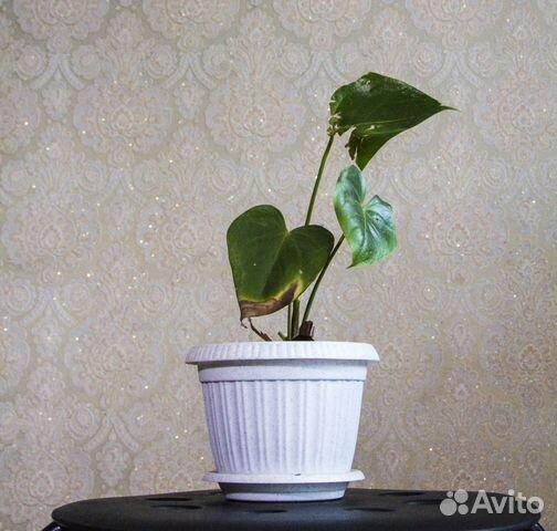 Обменяю цветы купить в Новосибирской ...: https://www.avito.ru/novosibirsk/rasteniya/obmenyayu_tsvety_809764896