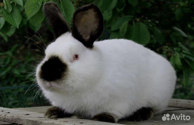 Кролики калифорнийцы 89132866379 купить 1