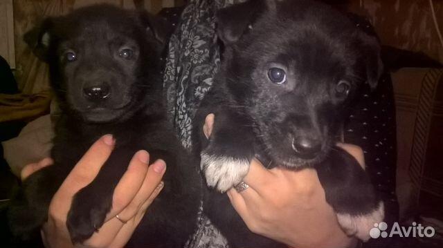Альфа купить щенка в иркутске на авито поведаю
