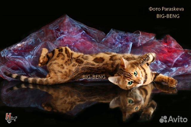 Котенок бенгальский
