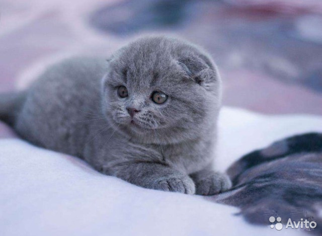 фото вислоухие котята