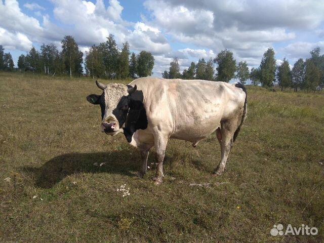 того, фото быков племзавод богородицкое смоленск музее разрешается делать