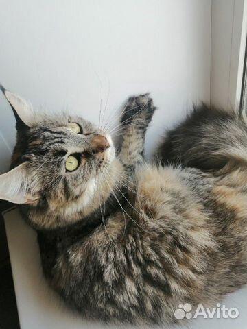 Кошка Мэйн-Кун  89102094513 купить 2