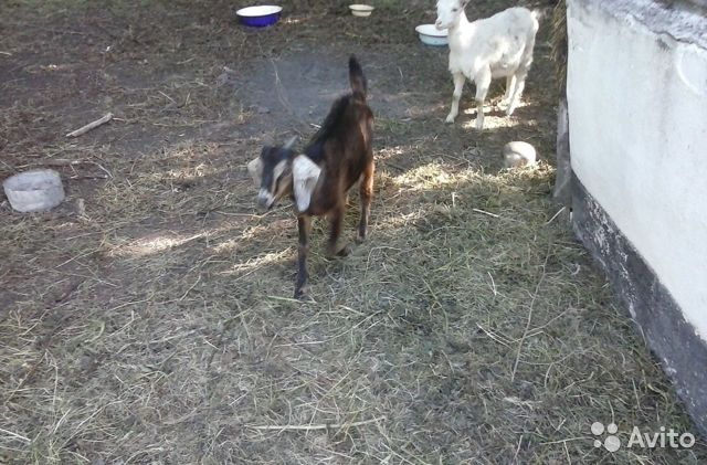 Goats and kids 89525959947 buy 5