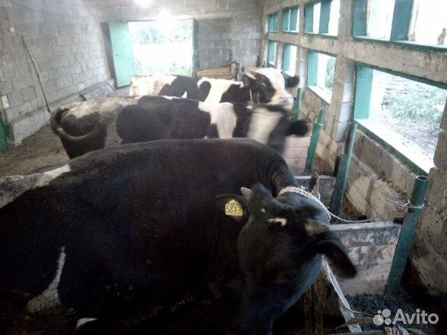 Продаются бычки