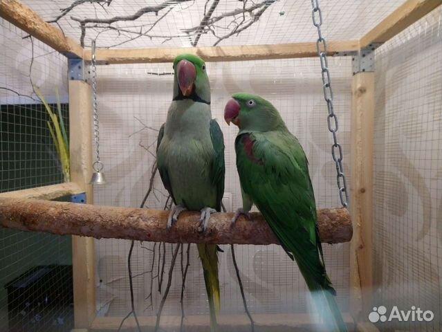 Александрийский попугай пара  89841477915 купить 3