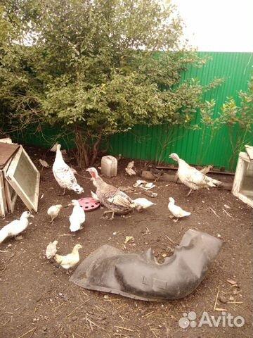 Индюки, индоутки, курицы  89178059446 купить 4