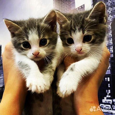 Коты  купить 3