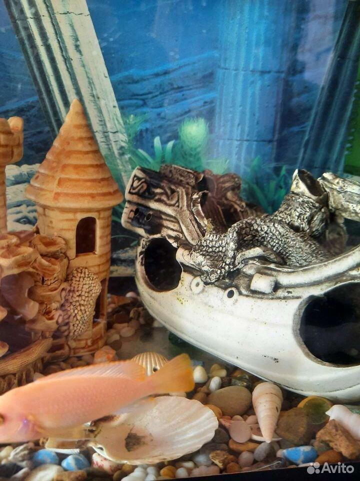 Рыба цихлида