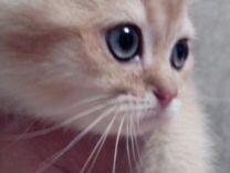 Золотые тикированные котята