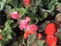 Бегония — Растения в Екатеринбурге