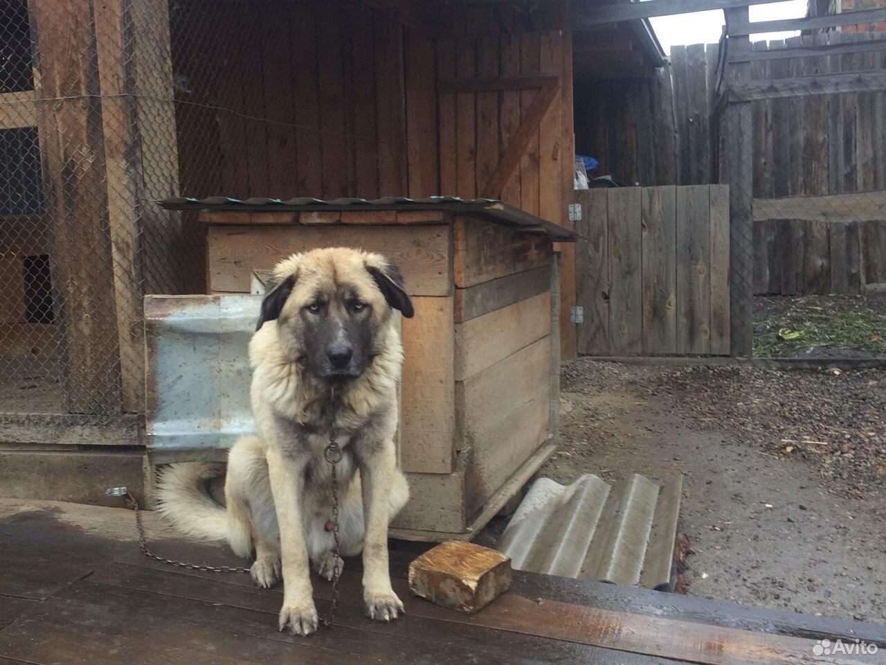 Кавказская овчарка  89500986476 купить 3