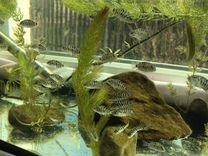 Рыбы аквариумные (мальки)