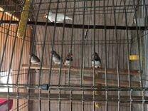 Амадины зебровые — Птицы в Москве