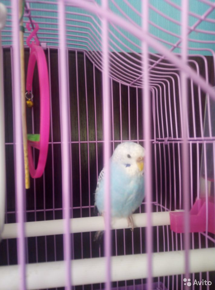 Попугаи птенцы мальчик и девочка с клеткой  89023112532 купить 1