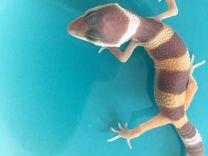 Ящерица (геккон, эублефар)