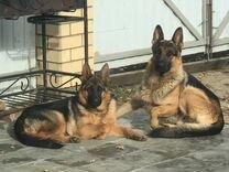 Готовы к брони щенки немецкой овчарки