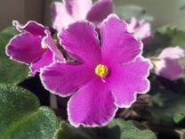 Фиалка цветущая, детки, лист