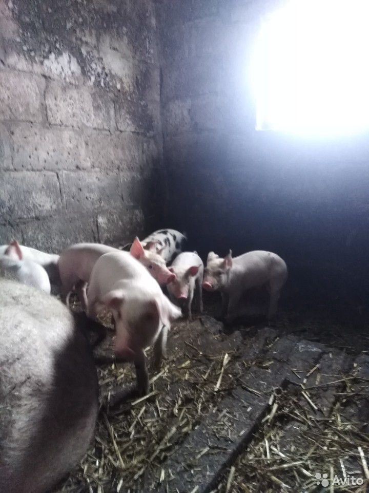 Sell pigs  89207000633 buy 4