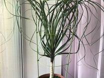 Нолина — Растения в Екатеринбурге
