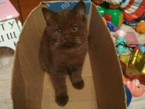 Британский котик шоколадного окраса