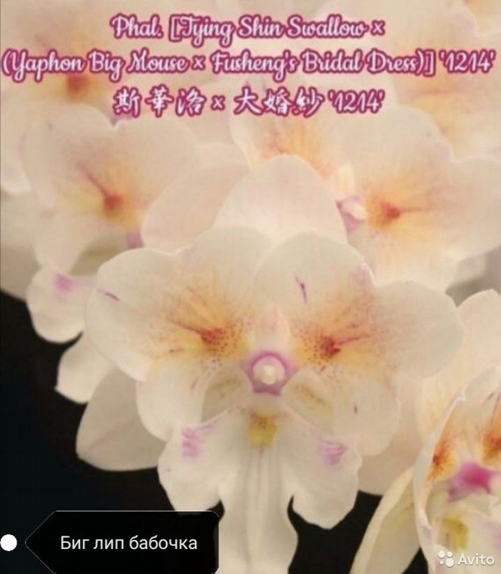 Орхидея фаленопсис бабочка  89183574657 купить 1