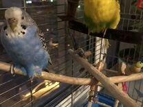 2 попугайчика с клеткой, едой и игрушками