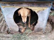 Собаки русская гончая