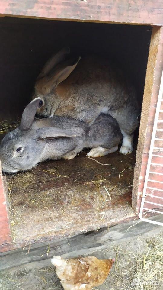 Кролик  89374313043 купить 1