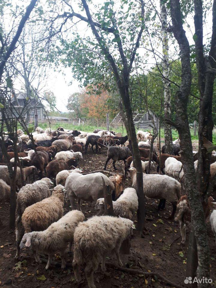 Овцы  89805776608 купить 3