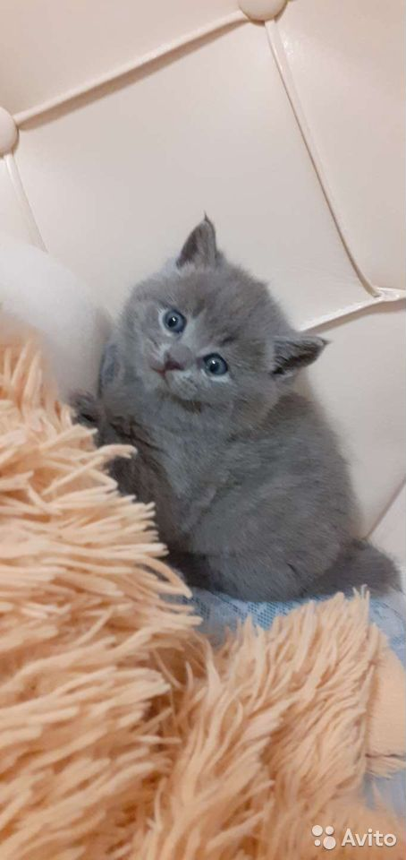 Skotska kattungar  89876967375 köp 1