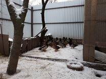 Кряквы (дикие утки) подсадные