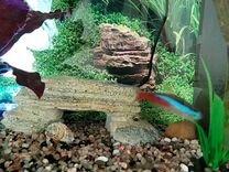 Аквариумные рыбки. Неоны. Апистрограмма
