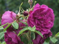 Роза морщинистая садовопарковая